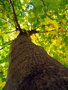 Maple Tree Trunk Royalty Free Stock Image