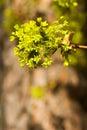 Maple tree Royalty Free Stock Photo