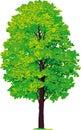 Arce árbol