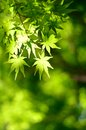 Maple verdure early summer season Stock Images