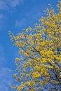 Maple wiosna Obrazy Stock