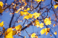 Maples leaves in autumn on the tree the Stock Images