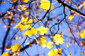 Maples leaves on the tree in the autumn Stock Photography