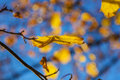Maples leaves on the tree in the autumn Stock Photo