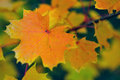 Mapple autumn leaves Royalty Free Stock Images