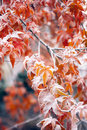Mapple foliage in winter snow covered background with frozen japanese maple branches tree warm tones Stock Photography