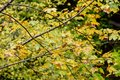 mapple tree leaves in autumn against dark background Royalty Free Stock Photo