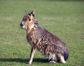 Mara big patagonian hare funny animal on green grass background Stock Photos