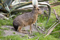 Mara dolichotis patagonum is small herbivore the Royalty Free Stock Images