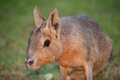 Mara rodent portrait of a Royalty Free Stock Images