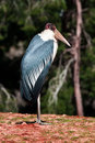 Marabou close up stork in zoo Stock Photos