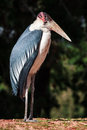 Marabou close up stork in zoo Stock Photo