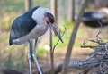 Marabou Stork Stock Photography