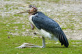 Marabou stork Stock Photos