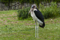 Marabou stork african on green grass Stock Photos