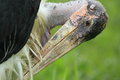 Marabou stork the detail of Stock Photo