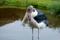 Marabou stork with the feet in the water sort leptoptilos crumeniferus Royalty Free Stock Photography