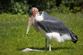Marabou stork in the grass sort leptoptilos crumeniferus Royalty Free Stock Images