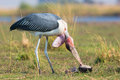 Marabou stork with head upside down Royalty Free Stock Photo