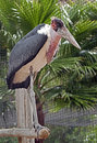 Marabou stork latin name leptoptilos crumeniferus Royalty Free Stock Photo