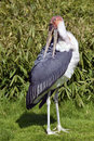 Marabou stork leptoptilos crumeniferus standing on grass and cleaning the plumage Royalty Free Stock Images