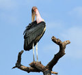 Marabou stork leptoptilos crumeniferus standing on a tree branch tarangire national park tanzania Stock Images