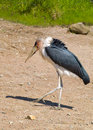 Marabou stork leptoptilos crumeniferus wildlife Stock Photo