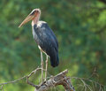 Marabou Stork perched Royalty Free Stock Photo
