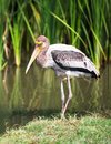 Marabou stork the single livelihood at riverside Royalty Free Stock Photos