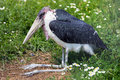 Marabou stork sitting on a green grass Royalty Free Stock Images