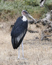 Marabou stork standing in grass with head turned Royalty Free Stock Photo