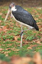 Marabou stork the standing on one feet Stock Photos