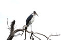 A marabou stork on a tree the is large wading bird Stock Image