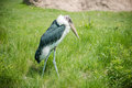 Marabou stork walking alone in the tall grass Stock Photo