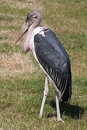 Marabou stork walking in sunshine Royalty Free Stock Image