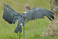 Marabou stork with wings spread portrait of a Royalty Free Stock Photography