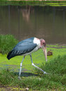 Marabou stork in zoo or safari of thailand Royalty Free Stock Photos