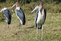 Marabou storks marabu standing and waiting Royalty Free Stock Images