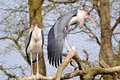 Marabou storks in tree Stock Photo