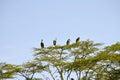 Marabou storks in tree at nakuru national park Royalty Free Stock Photos