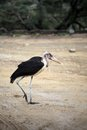Marabou walker a stork walking across the road in serengeti Royalty Free Stock Images