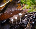 Marasmius ramealis, little white mushrooms on a twig in the woods among the fallen leaves. Royalty Free Stock Photo