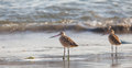 Marbled Godwit At Beach