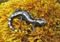 Marbled Salamander Royalty Free Stock Photo