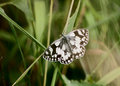 Marbled White butterfly on leaf Royalty Free Stock Photo