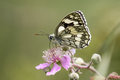 Marbled White butterfly (Melanargia galathea) on pink flower. Pr Royalty Free Stock Photo