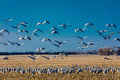 MARCH 7, 2017 - Grand Island, Nebraska -PLATTE RIVER, UNITED STATES Migratory Sandhill Cranes fly over cornfield at sunrise as par Royalty Free Stock Photo