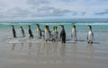 The March of the King Penguins Royalty Free Stock Photo