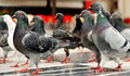 March of the pigeons Royalty Free Stock Photography