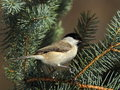 March tit on a  fir branch Royalty Free Stock Images